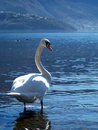 Free The Grace Of The Swan Royalty Free Stock Photos - 4507058