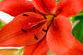 Free Red Lily Macro Royalty Free Stock Photography - 4509367
