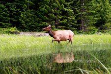 Free Water Elk Royalty Free Stock Image - 4500256