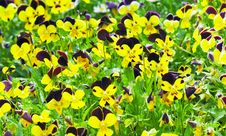 Free Pansies Royalty Free Stock Photos - 4500448