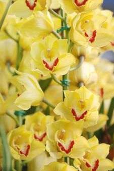 Free Spring Flower Yellow Cymbidium Royalty Free Stock Photo - 4500455