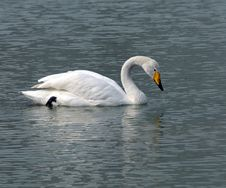 Free Swan Stock Images - 4500564