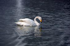 Free Swan Royalty Free Stock Photos - 4500628