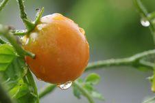 Free Cherry Tomato Royalty Free Stock Photography - 4501357