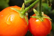 Free Cherry Tomato Stock Images - 4501754