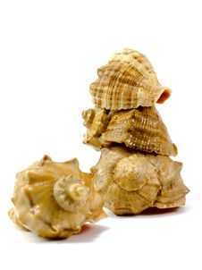 Free Cockleshells Royalty Free Stock Image - 4503086