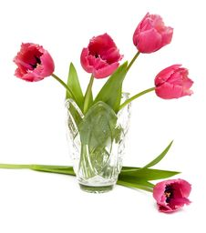 Free Pink Tulips On White Bakcgrouns Royalty Free Stock Photography - 4503557