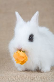 Free White Bunny Eat A Yellow Flowers Stock Image - 4504591