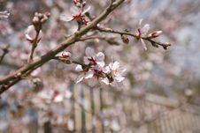 Free Almond Flowers Stock Photos - 4504603
