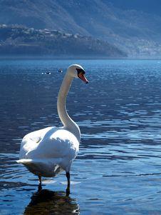 Free Swan Stock Image - 4507061