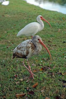 Free Juvenile American White Ibis With Adult Stock Images - 4507154