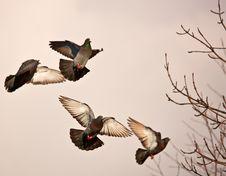 Free Landing Pigeons Royalty Free Stock Images - 4509419