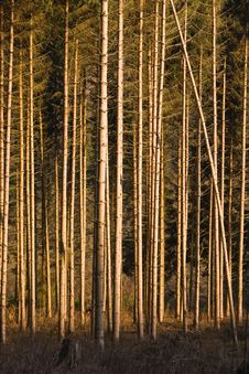 Free Pine Forest Stock Images - 4509514