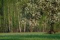 Free Blooming Apple Tree Stock Photos - 4517473