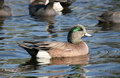 Free Mallard Duck. Royalty Free Stock Images - 4518889