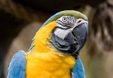 Free Blue And Gold Macaw Royalty Free Stock Photos - 4510358
