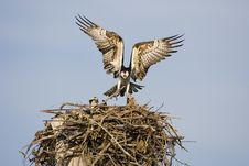 Free Osprey With A Fish For His Mate Royalty Free Stock Photography - 4510757