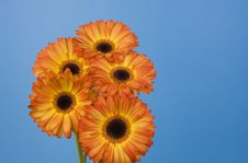 Free Five Gerberas Royalty Free Stock Photography - 4510827