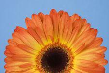 Free Gerbera Rising Royalty Free Stock Photos - 4510828