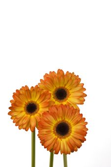 Three Orange Daisies Royalty Free Stock Images