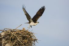 Free Female Osprey Leaves The Nest Royalty Free Stock Photo - 4510835