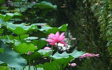 Free Water Lily Royalty Free Stock Image - 4511796