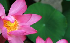 Free Water Lily Stock Photography - 4511802