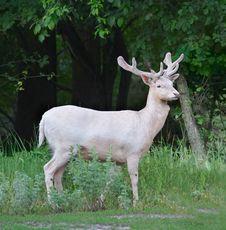 Free Fallow-deer Stock Photos - 4511863