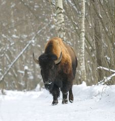 Free Bison Stock Photography - 4511892