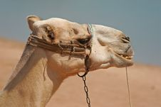 Free Dromedary Royalty Free Stock Photo - 4511985