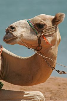 Free Dromedary Stock Photos - 4511993