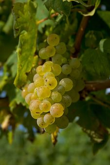 Free Grape Royalty Free Stock Photography - 4512007
