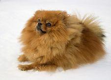 Free The Spitz-dog. Royalty Free Stock Photography - 4512647