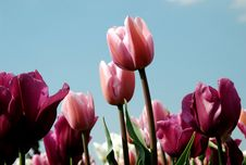 Free Purple And Pink Tulips Royalty Free Stock Photos - 4512708
