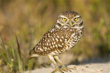 Free Burrowing Owl Outside His Burrow Stock Photos - 4513543