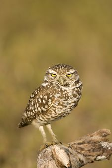 Free Burrowing Owl Perched On A Stick Stock Photography - 4513602