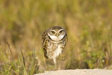 Free Burrowing Owl Watches Me Intently Stock Photo - 4513640