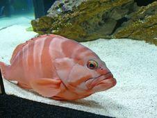 Free Fish Royalty Free Stock Image - 4515566