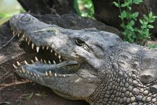 Crocodile Head Royalty Free Stock Photos