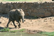 Free Young Elephant Royalty Free Stock Images - 4515599