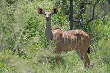 Free Antelope Stock Image - 4515601