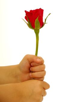 Free Rose In Hand On White Background Royalty Free Stock Images - 4515909