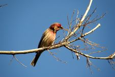 Free Finch Royalty Free Stock Photos - 4516028