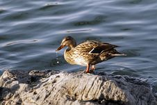 Free A Lonely Wild Duck. Royalty Free Stock Photos - 4516678