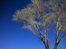 White Tree-Right Royalty Free Stock Image