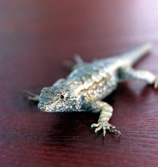 Free Lizard On Red Wood Royalty Free Stock Photos - 4517618