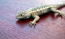 Free Lizard On Red Wood Royalty Free Stock Images - 4517639