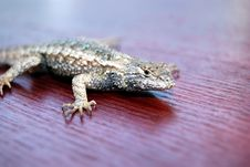 Free Lizard On Red Wood Stock Image - 4517671