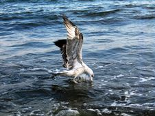 Free The Seagull On Sea Waves Royalty Free Stock Photo - 4517965