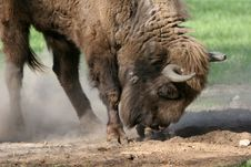 Free Bison With Horns And Long Fur Stock Photos - 4518383